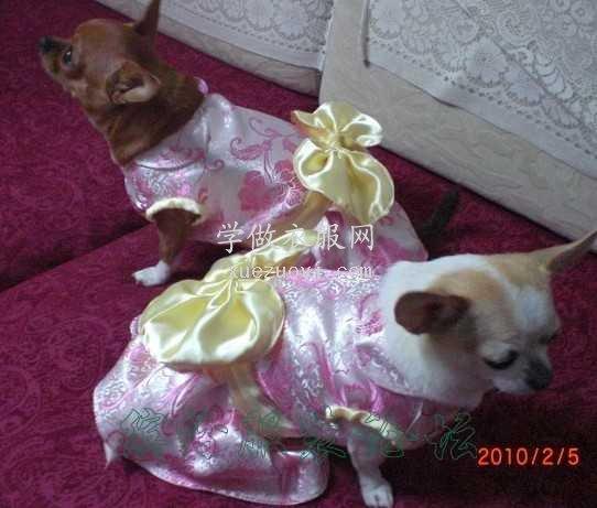 吉娃娃小狗的缎面过年新装
